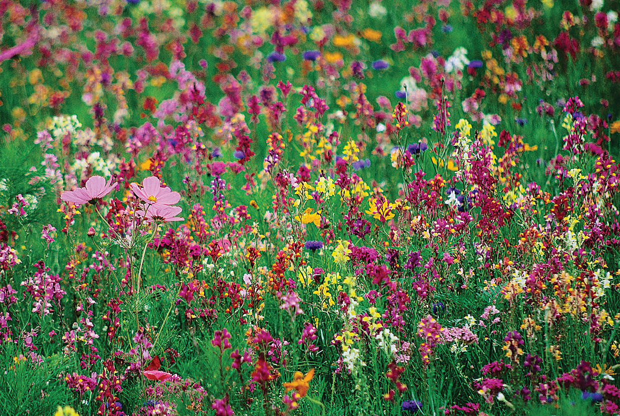 Garden Design With Garden Favorites Wildflower Mix Pacific Coast Seed With  Bushes Landscaping From Store.