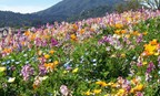 Sierra Garden Wildflower Mix