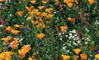 Bay Area Wildflower Mix