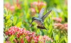 Hummingbird Pollinator Mix