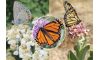 Butterfly Pollinator Mix